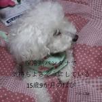 2018年夏!札幌のエアコンのない住宅で老犬を留守番させる時の狂いそうな心境を語ってみた