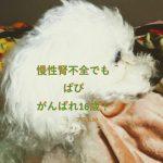 慢性腎不全の愛犬ぱぴは2018年11月に16歳!ペット保険入っておけばよかった!