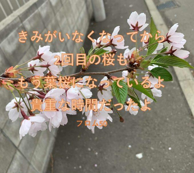 ぱぴがいなくなって2年!あの桜は葉桜に!